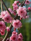 Chinese cherry blossoms